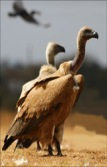 Cape-Vulture-pair