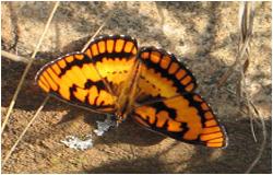 spotted-jonker-butterfly_byblia_ilythia-TSA-Bronberg