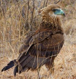 Juvenile-Bateleur_Eagle_RalphPina